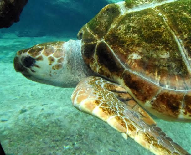 Żółw morski/ foto: Danuta Baranowska