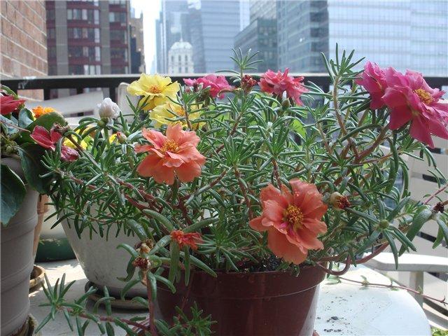 Portulaka, wdzięczna na każdy balkon świata/ źródło: forum.ge