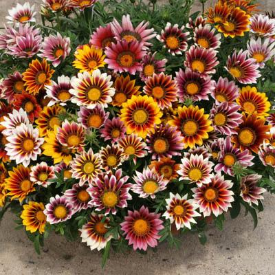 Gazania zachwyca paletą barw/ źródło: harrisseeds.com