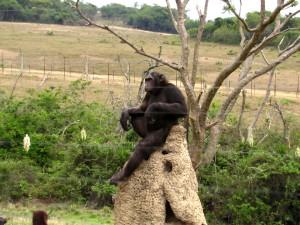 szympans na termitierze