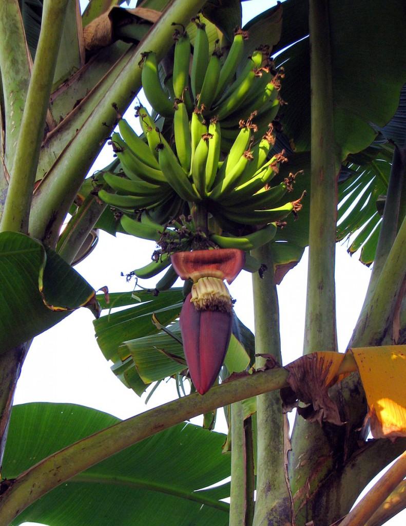 Kwiat bananowca z owocami