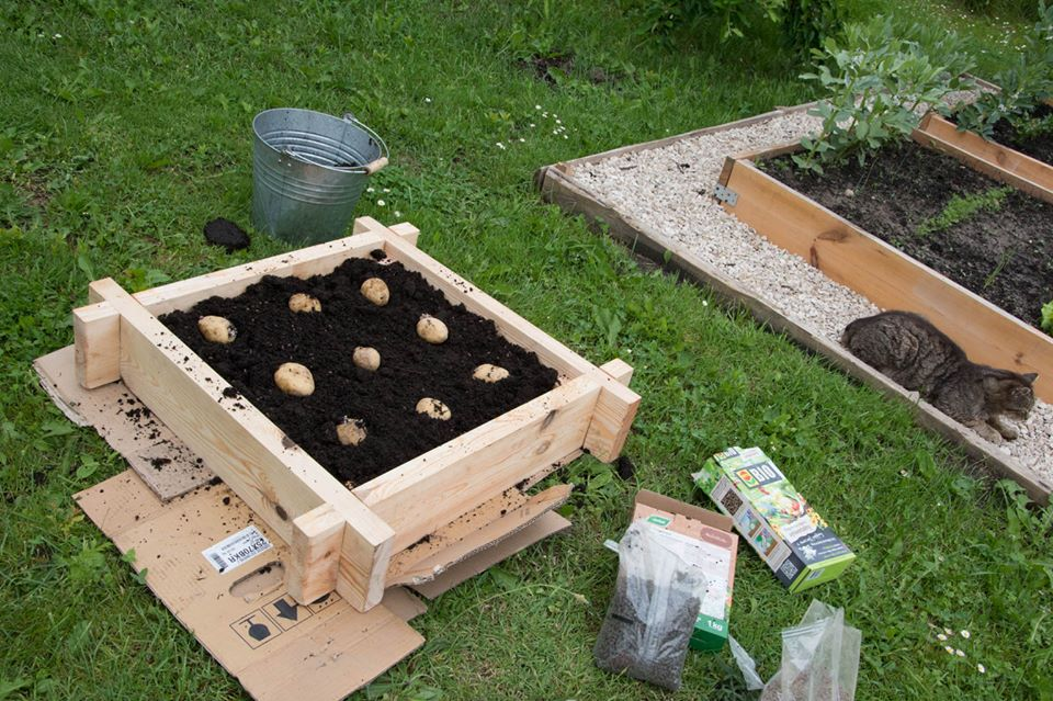 eksperyment kartoflany