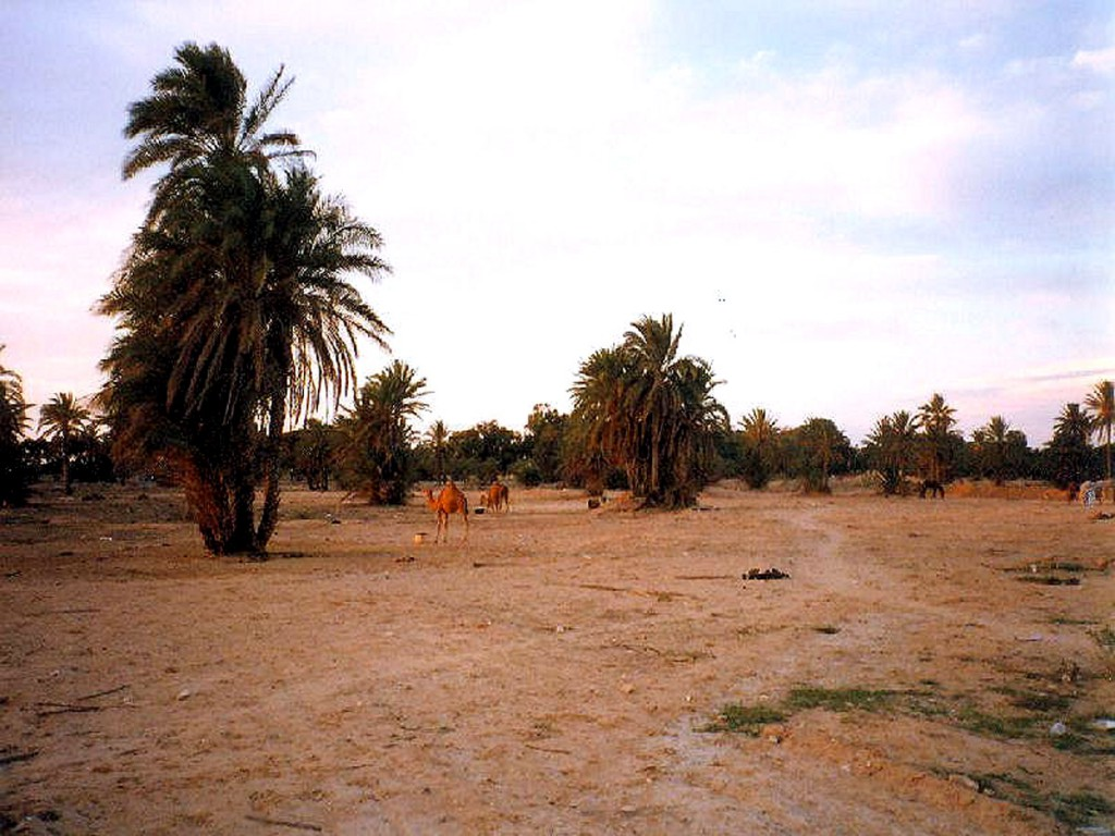 Palmy daktylowe na Dżerbie