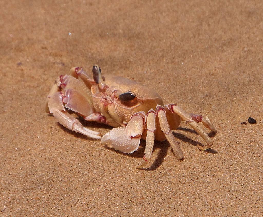 Uciekający krab
