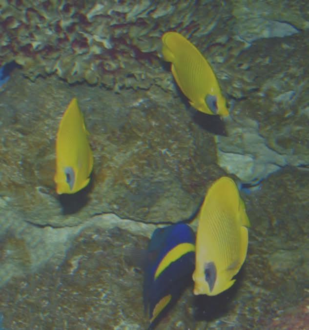Ryby rafy