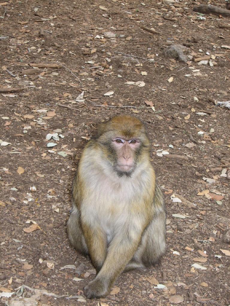 makak samiec