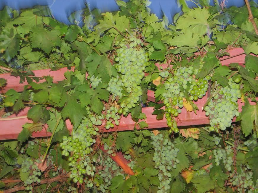 winorośl przy wejściu