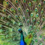 peacock-188328_1920