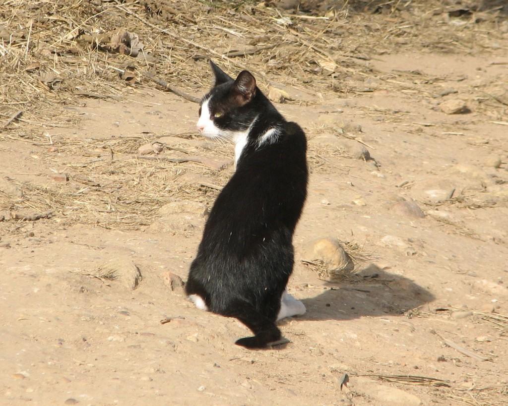 tajemnicza czarno biała kotka