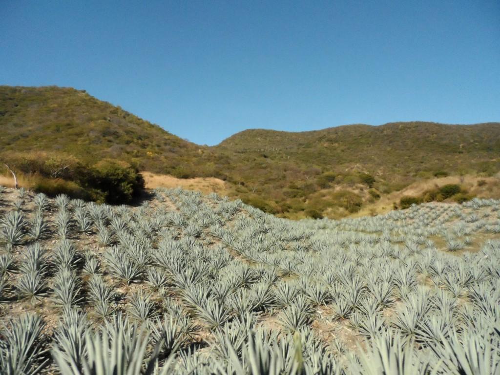 pole niebieskiej agawy do produkcji tequili