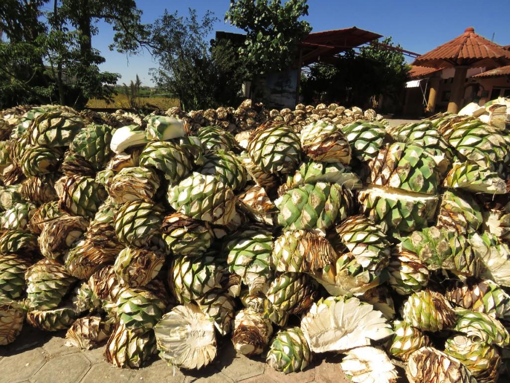 rdzenie agawy