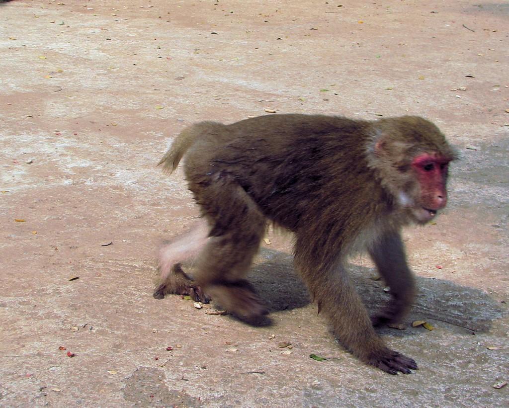 małpa na drodze