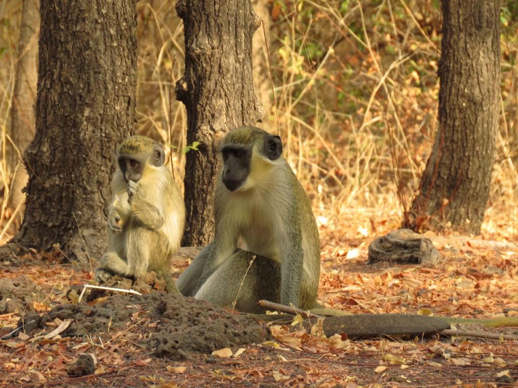 małpy przed chatką