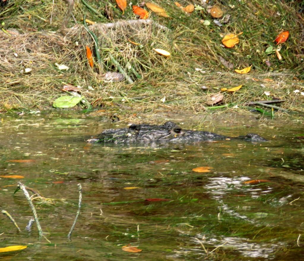 Krokodyl Moreleta