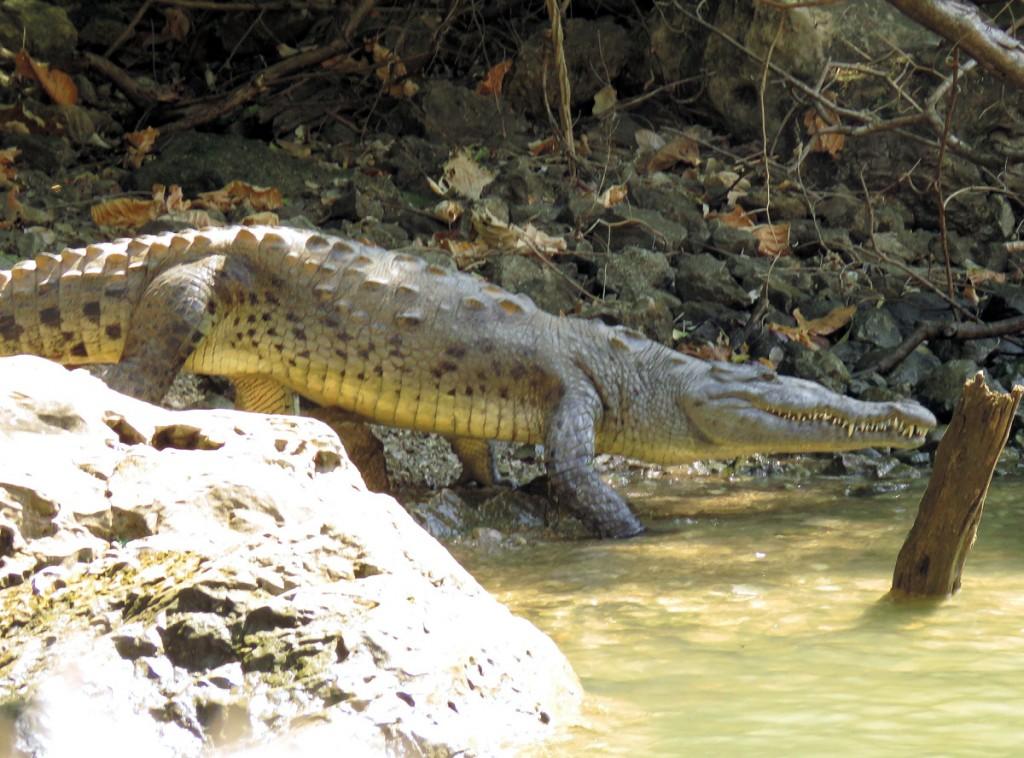 Krokodyl w Kanionie Sum