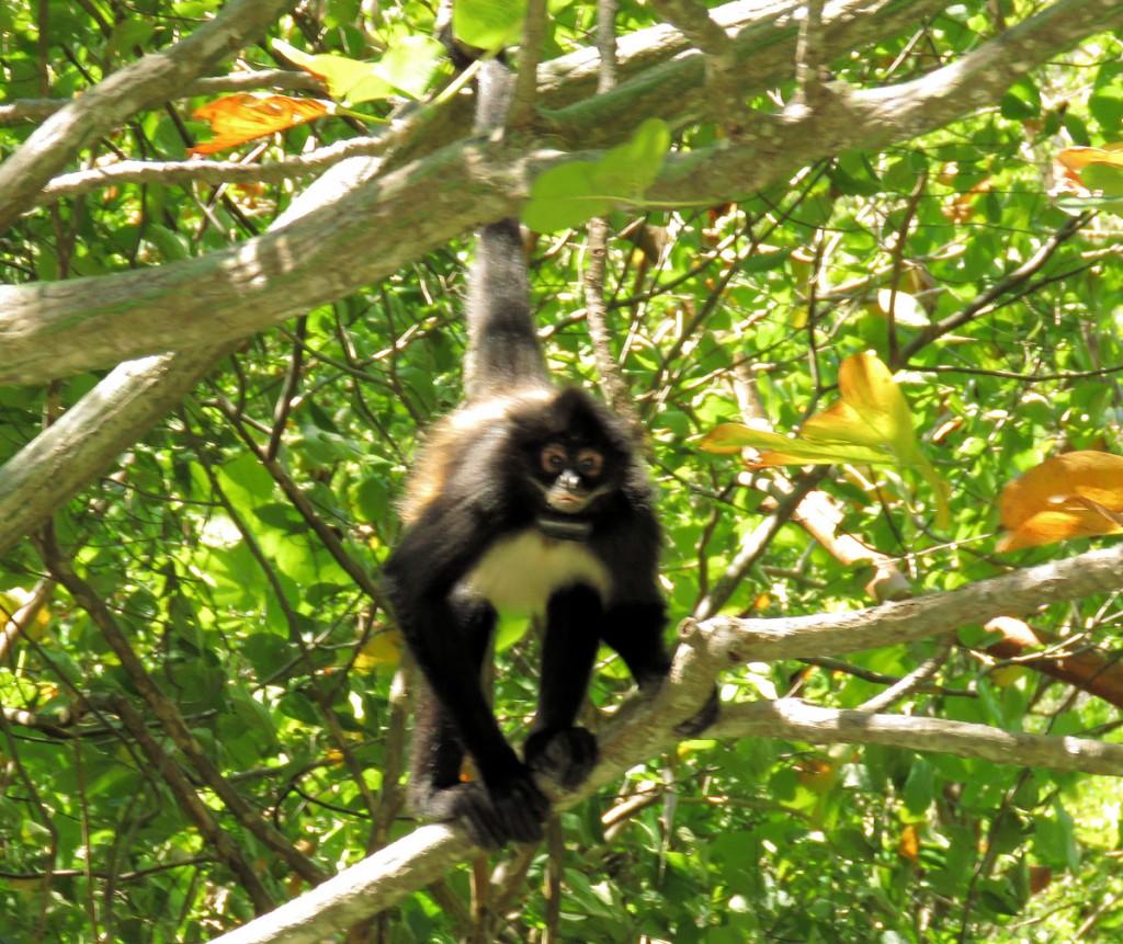 Chichocząca małpa w Kanionie Sumidero
