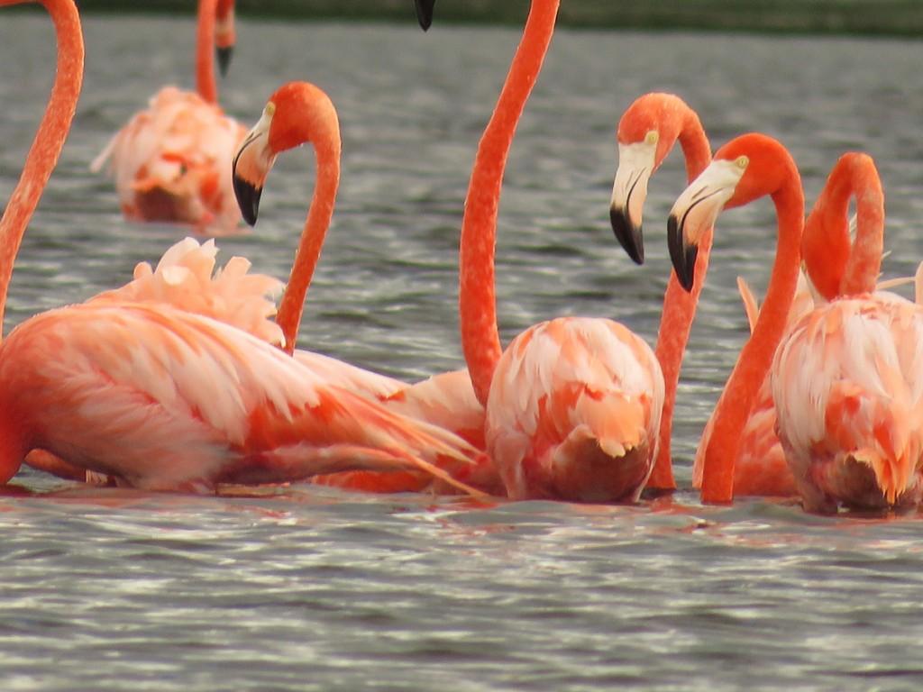 Flamingi w rezerwacie Celestum