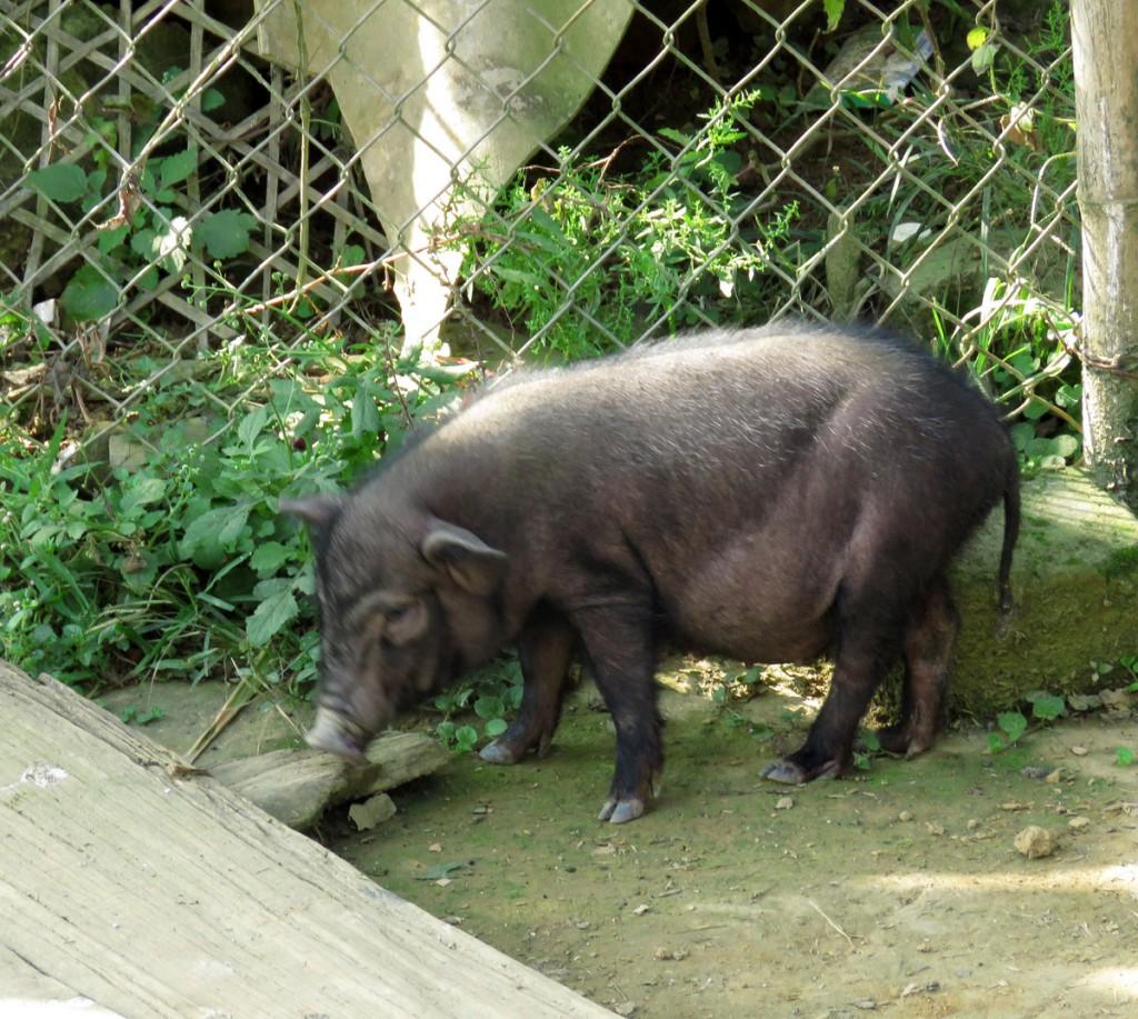 świnka wietnamska