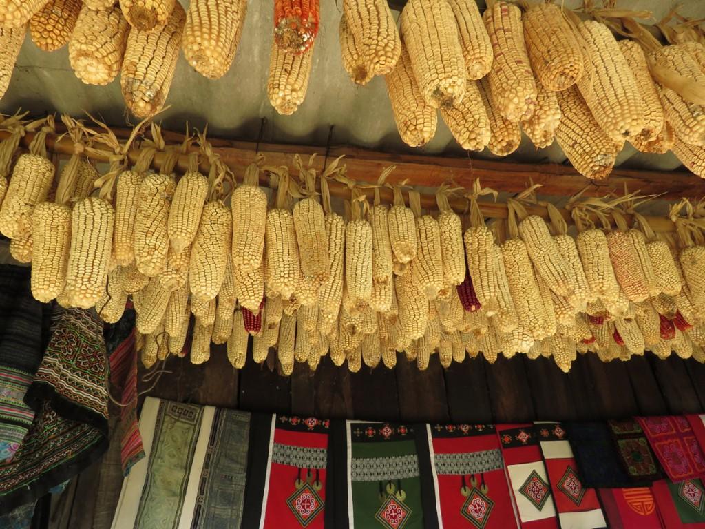 susząca się kukurydza