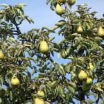 pears-429846_1280